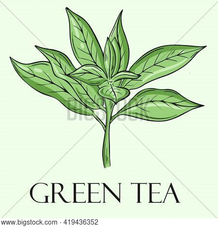 Tea Leaf, Vector. Inflorescence Of The Upper Leaves Of The Tea Tree. Hand Drawing.