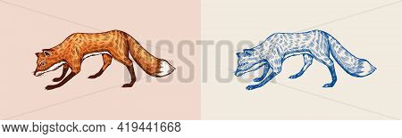 Red Fox Is Looking For Food. The Animal Hunts For A Mouse. Forest Ginger Beast. Vector Engraved Hand