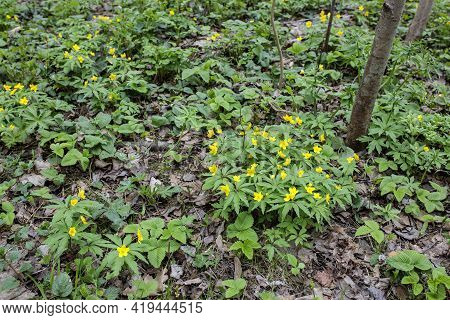 Natural Background Of Yellow Anemones (anemonoides Ranunculoides) In The Forest