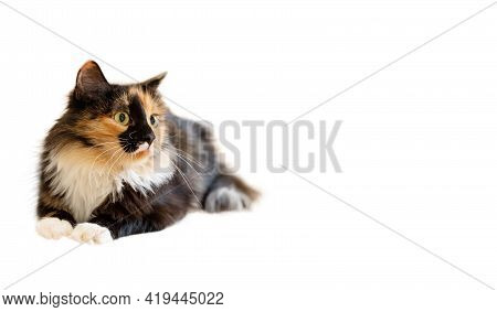 Cute Fluffy Young Three-color Orange-black-and-white Long-haired Cat Isolated On White Background. A