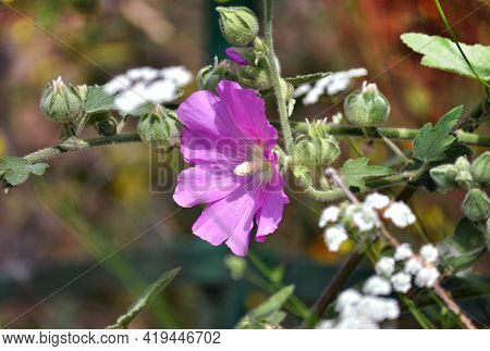 Beautiful, Delicate Purple Flowers Of Common Hollyhock (alcea Rosea).