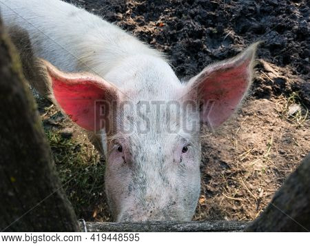 Dirty Pig Stare From Pig Pen, Domestic Animal In Countryside