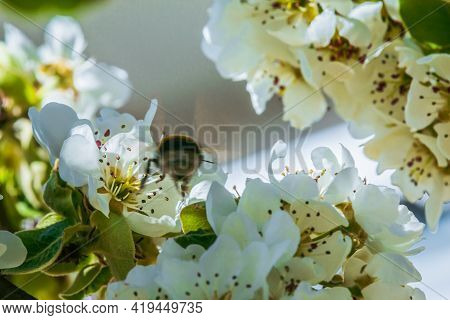 A Bumblebee Or Bee Between White Flowers Of An Apple Tree. Branch Of A Fruit Tree In Springtime In S