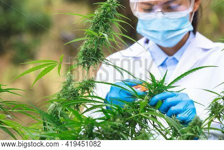 Marijuana Researcher, Female Scientist In A Hemp Field Checking Plants And Flowers, Alternative Herb