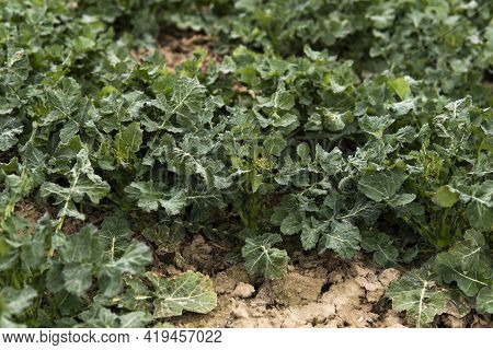 Close Up Of Winter Rape Plants On A Spring Field. Agriculture, Cultivating.