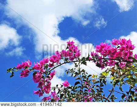 Pink Bungavillas On A Tropical Blue Background From The French West Indies. Branch Of Pink Flowers O