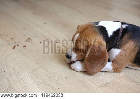 The Beagle dog is lying on the floor sad, sick, bored and waiting for the owner