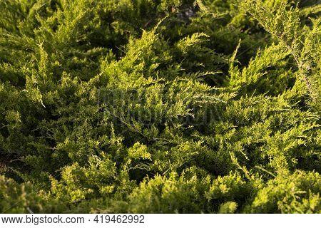 Green Hedge Of Thuja Trees. Closeup Fresh Green Branches Of Thuja Trees. Evergreen Coniferous Tui Tr