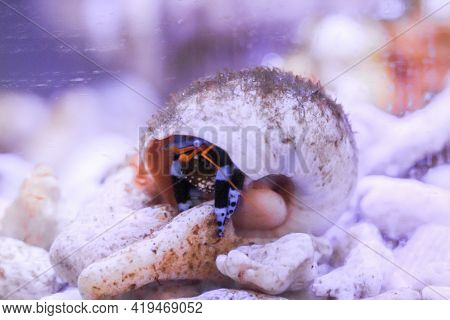 A Black And Blue Hermit Crab In A Snail Shell In The Aquarium.