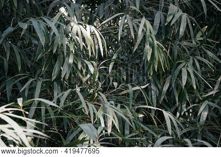 Bamboo Forest Background. Green Bushes And Thickets Of Bamboo With Leaves. Zen Relax Nature Wall. Hi