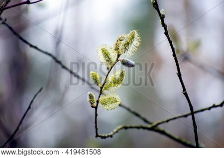 Pussy Willow In Bloom