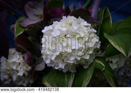 French Hydragea Nature Botany Flower White Colorful