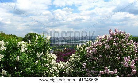 bushes of a lilac on the background of city of Kiyv