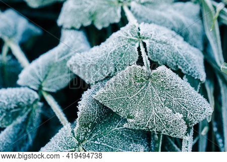 Grass Leaves Covered With Hoarfrost And Traces Of Frost Close-up. The Beginning Of Winter First Fros
