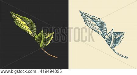 Hop Leaves For Malt Beer. Engraved Vintage Set. Hand Drawn Collection. Sketch For Web Or Pub Menu. D