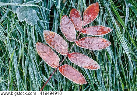 A Frozen Twig With Nine Leaves Of A Red Tree Covered With Frost On The Green Frozen Grass. Close-up