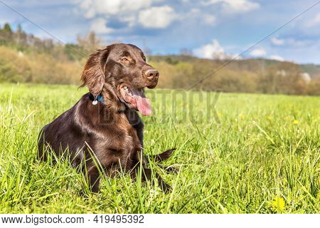 Brown Flat Coated Retriever Is Lying On A Spring Meadow. Hound. Dog's Eyes. Hunting Dog Puppy.