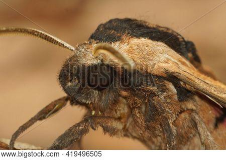 Frontal Closeup Of A Privet Hawk Moth, Sphinx Ligustri