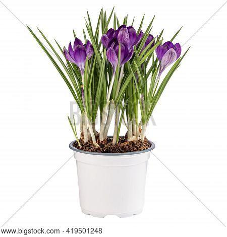 Violet Spring Crocuses Flower In Flower Pot Isolated On White Background