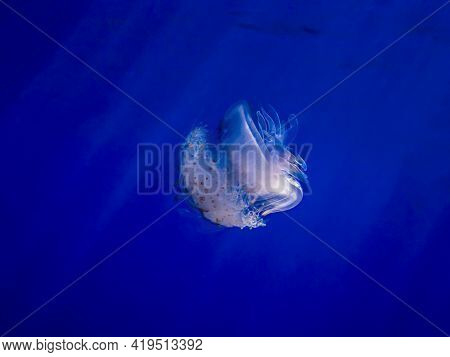 Crown Jellyfish Glows White In Deep Blue Water With Light Rays Penetrating Making Rainbow Hues In Th