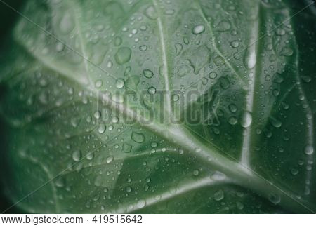 Cabbage Leaf With Water Drops On It. Selective Focus.fresh Cabbage Leaf. Raw Fresh Green Cabbage Tex