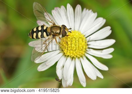 Closeup Of A Migrant Hoverfly, Eupeodes Corollae On A Common Daisy, Bellis Perennis In The Garden
