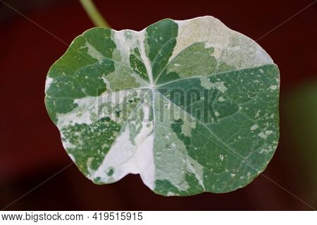 A White And Green Variegated Leaf Of Nasturtium Tip Top Alaska, An Edible Herb Plant