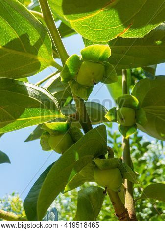 Persimmons Tree Start Producing Fruit Closeup View