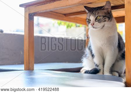 A Cute Cat Hiding Under Wood Table In Cat Cafe. Cat Cafe Is A Theme Cafe Whose Attraction Is Cats Th