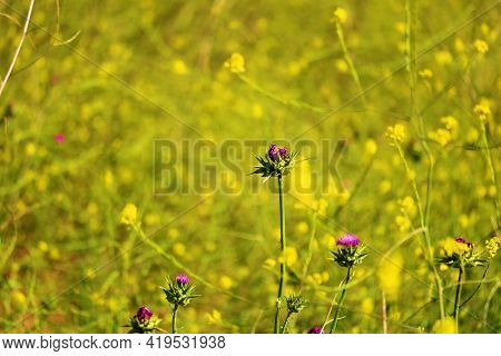 Thistle And Mustard Plant Flower Blossoms During Spring On A Lush Prairie Taken At A Grassy Field In
