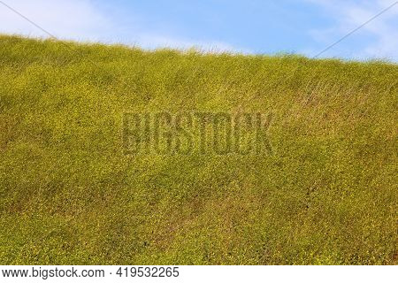 Rural Hillside Covered With Lush Grasslands And Mustard Plant Wildflowers During Spring Taken On Lus