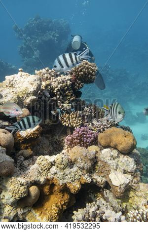 Colorful Coral Reef At The Bottom Of Tropical Sea, Hard Corals And Striptailed Damselfishes, Underwa