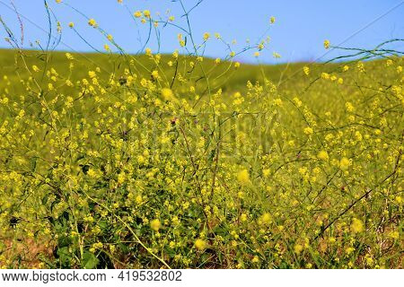 Lush Grasslands Covered With Mustard Plant Wildflowers During Spring Taken On A Prairie At A Grassy
