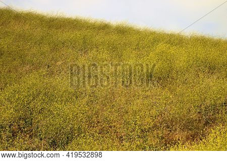 Windswept Hillside Covered With Mustard Plant Wildflowers During Spring Taken On A Grassy Field At A