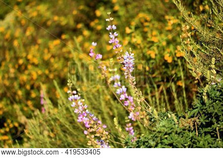 Lupine Wildflowers Besodes The Daylily Flower Blossoms During Spring On A Lush Hillside At A Prairie