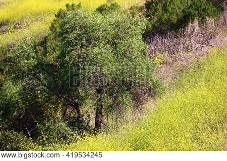 Oak Tree On A Lush Hillside Covered With Mustard Plant Flower Blossoms During Spring Taken At A Prai