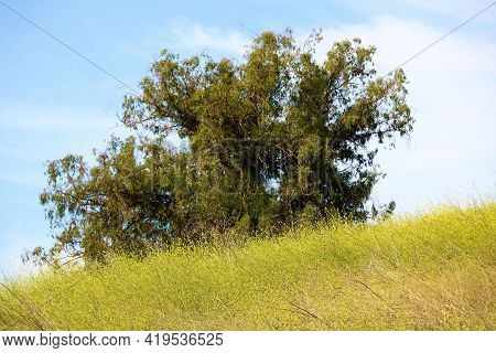 Lush Grasslands And Mustard Plant Wildflower Blossoms During Spring Surrounding A Lone Tree Taken In