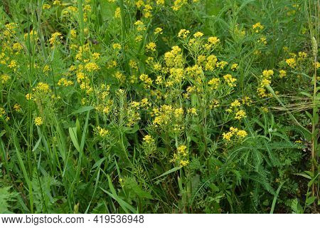 A Top View Of Blooming Wintercresses.yellow Spring Flower.