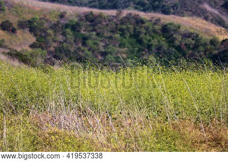 Lush Chaparral Plants And Mustard Plant Wildflowers During Spring On A Plateau Overlooking A Canyon