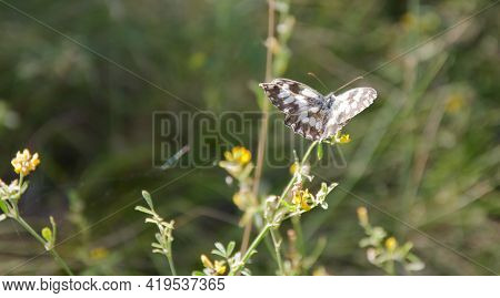 Marbled White Butterfly With Black-and-white Spotted Wings Spread Out On Wild Field Flower