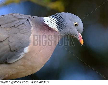 The Common Wood Pigeon Is A Large Species In The Dove And Pigeon Family. It Belongs To The Genus Col