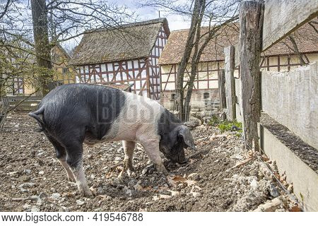 The Pig Also Known As The Angler Sattelschwein Enjoys The Mud