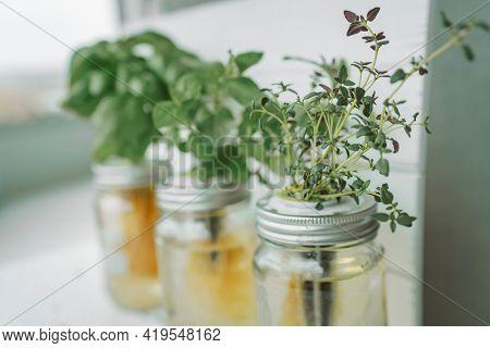 Fresh herbs gardening at kitchen countertop top view of genovese basil, mint, thyme in hydroponic kratky method jars.