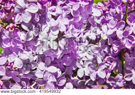 Lilac Background. Purple Lilac Flowers Spring Blossom Background