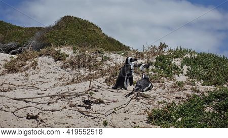 African Penguins Rest On A Sandy Hill. Black And White Birds Lie And Stand Among The Sparse Green Ve