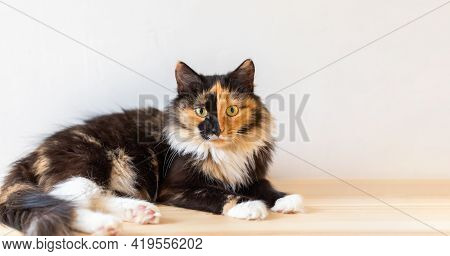 Beautiful Young Three-color Orange-black-and-white Cat Is Lying On Wooden Floor And Looking At Camer