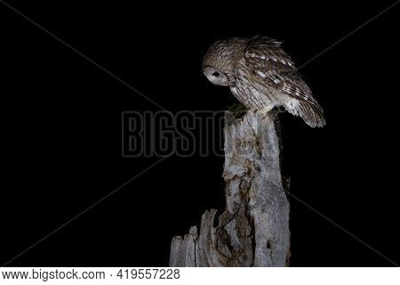 The Tawny Owl Or Brown Owl - Strix Aluco Is A Stocky, Medium-sized Owl Commonly Found In Woodlands A