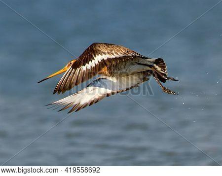 Black-tailed Godwit (Limosa limosa) wader bird in natural habitat