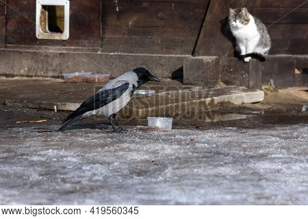 Hungry Crow Is Stealing Dry Food Prepared In The Park For Homeless Street Cats. White Cat On The Bac