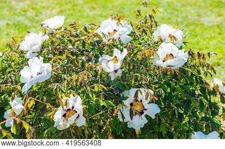 White Tree Peony Flower Bush Blooms On A Green Bush